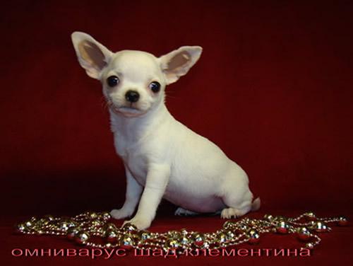 Хуа самая маленькая порода в мире